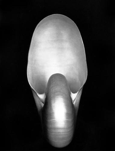 """17. Edward Weston """"Nautilus"""" (1927), 1.105.000 dol."""