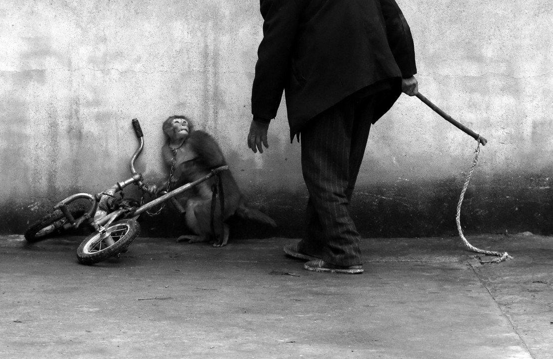 """1 miejsce w kategorii Przyroda, zdjęcie pojedyncze – """"Tresura cyrkowej małpy"""", fot. Yongzhi Chu (Chiny)"""