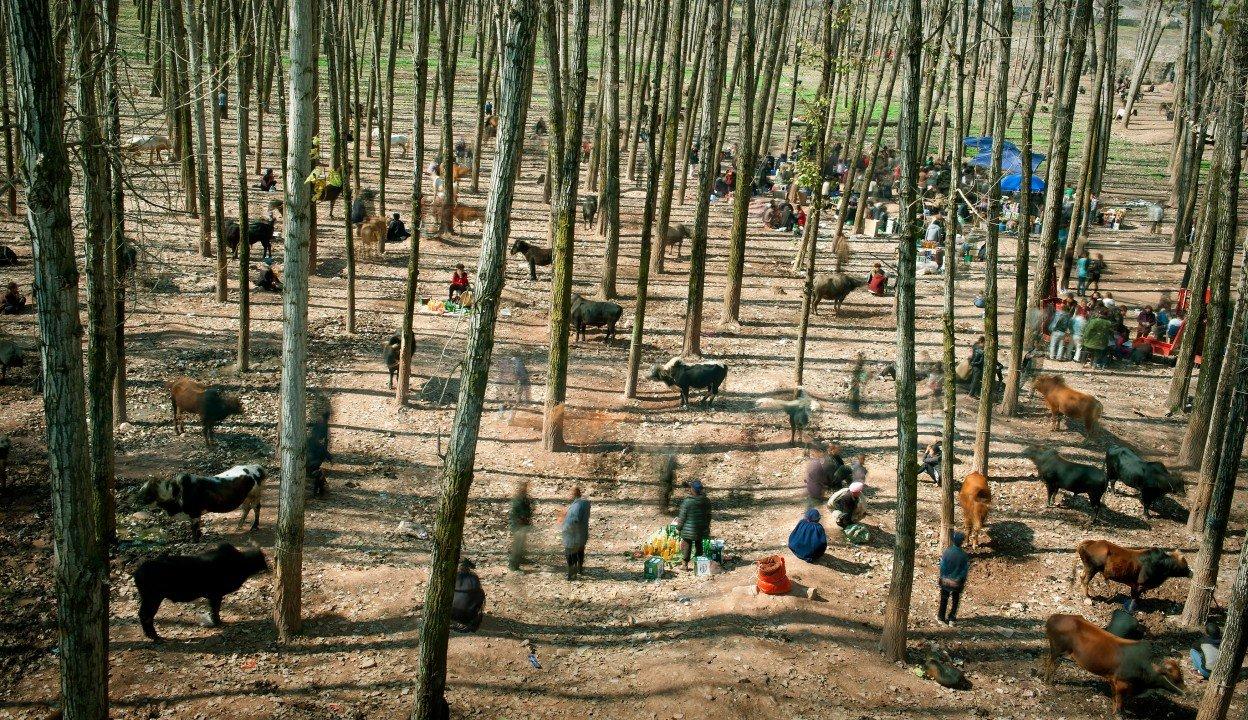 """1 miejsce w kategorii Życie codzienne, zdjęcie pojedyncze – """"Targowisko bydła"""", fot. Cai Sheng Xiang (Chiny)"""