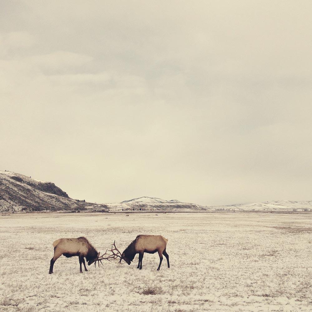 "LANDSCAPES - ""SPARRING ELK IN WYOMING"" - Stephanie Baker"