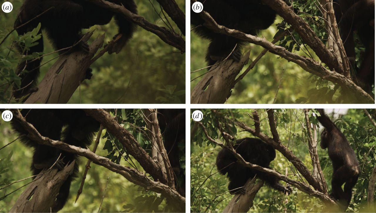 Polujące szympansy z Fongoli (fot. Royal Society Open Science)