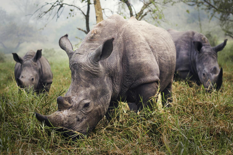 Autor: Stefane Berube. Białe nosorożce. Wyróżnienie