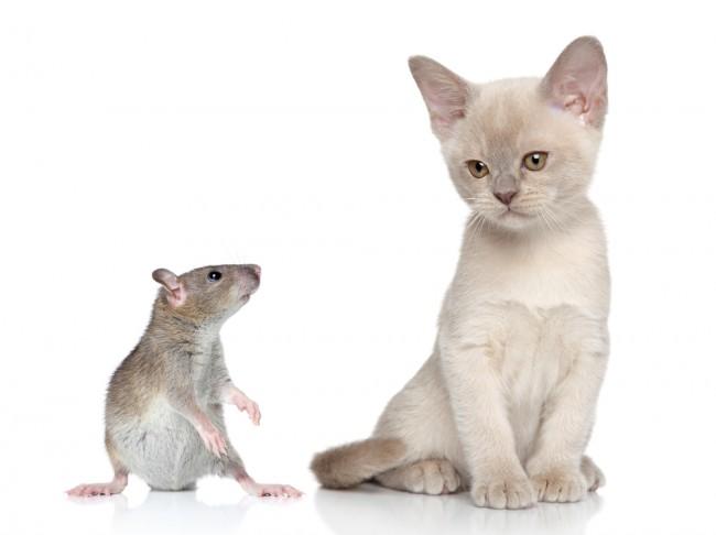rat_and_cat