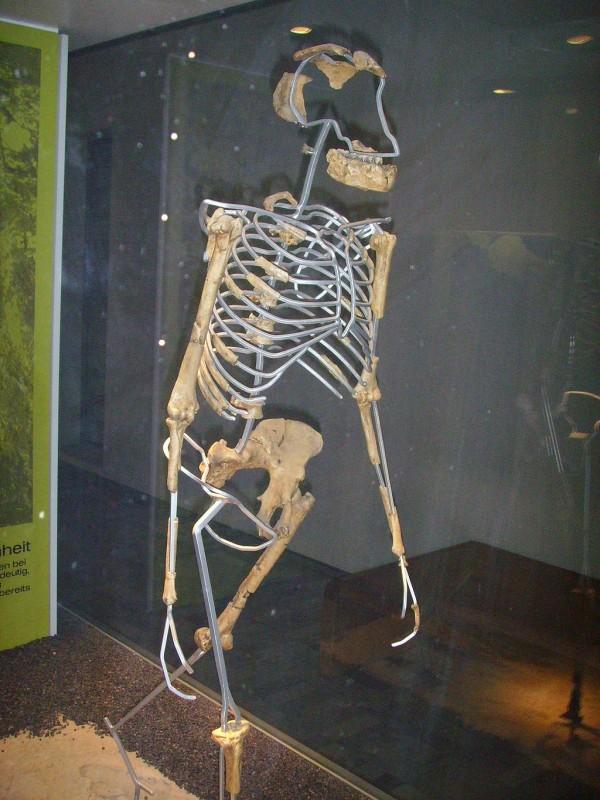 Replika szkieletu Lucy - źródło: Wikipedia